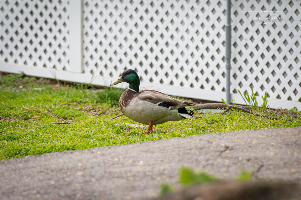 Samoset Resort duck