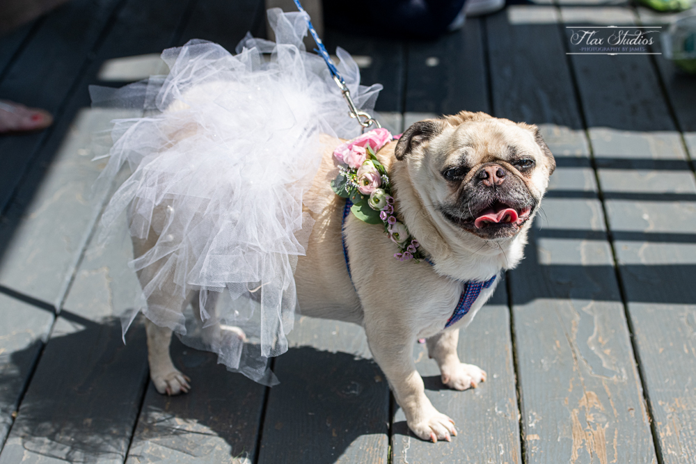 pug dressed up in tutu for the wedding