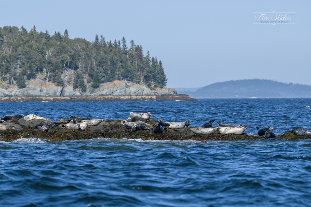 seals sunbathing on the rocks
