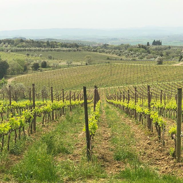 The vines are really bursting now!  Spring continues to slowly unveil in Tuscany. #lifeintuscany #customtours #concierge #boutiquehotel #bandb #tuscany #livelikealocal #yourtripyourway #chianti #wine #chianticlassico