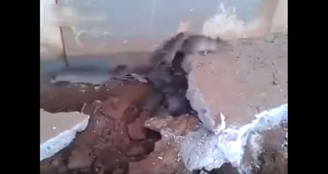 rats under concrete