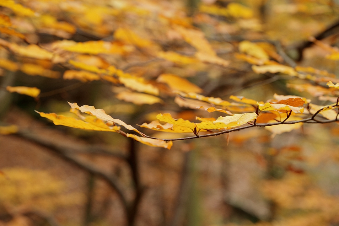 Beech Autumn
