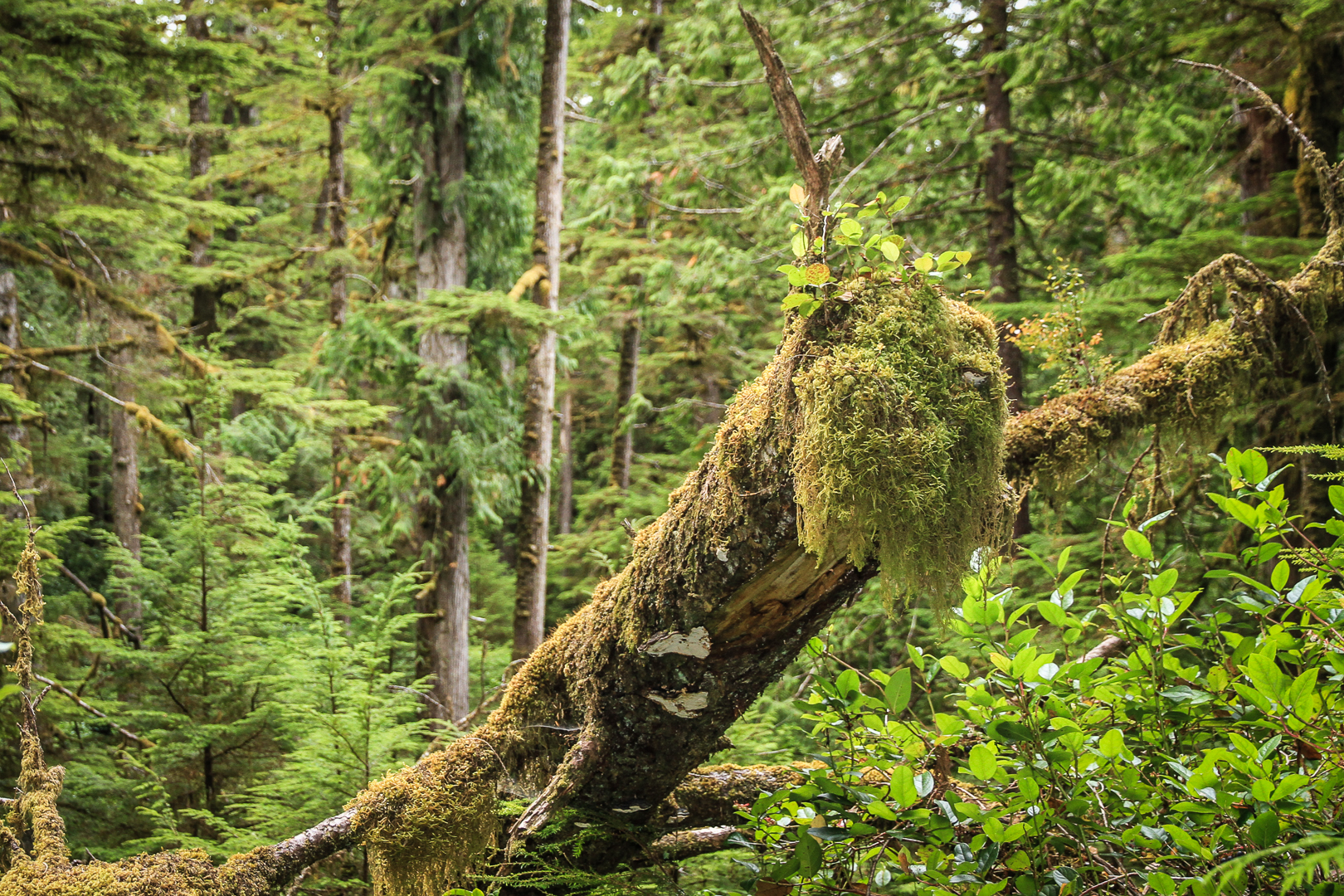 Green Chaos. Old grown temperate rainforest at the BC coast.