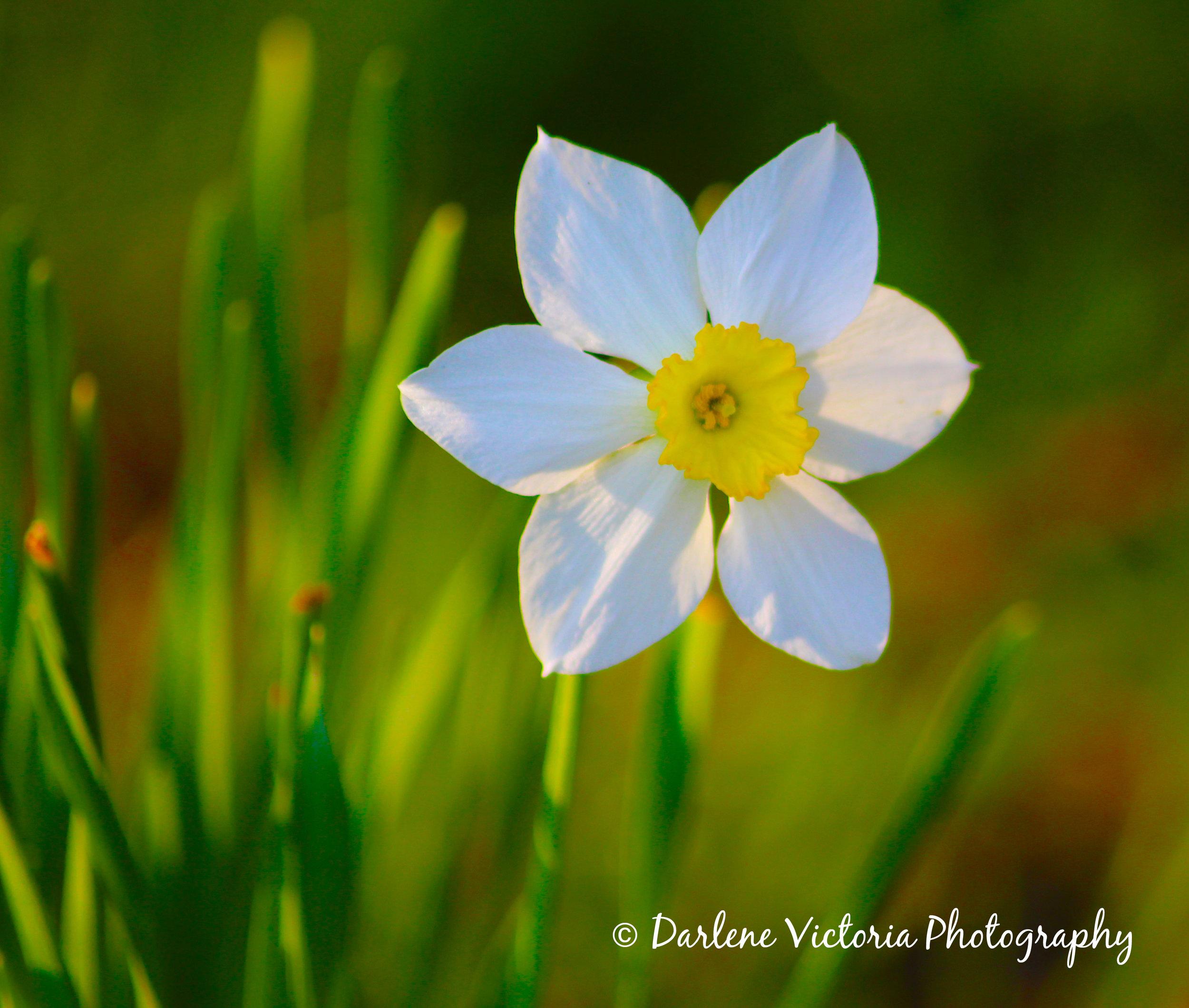 daffodil1.jpg
