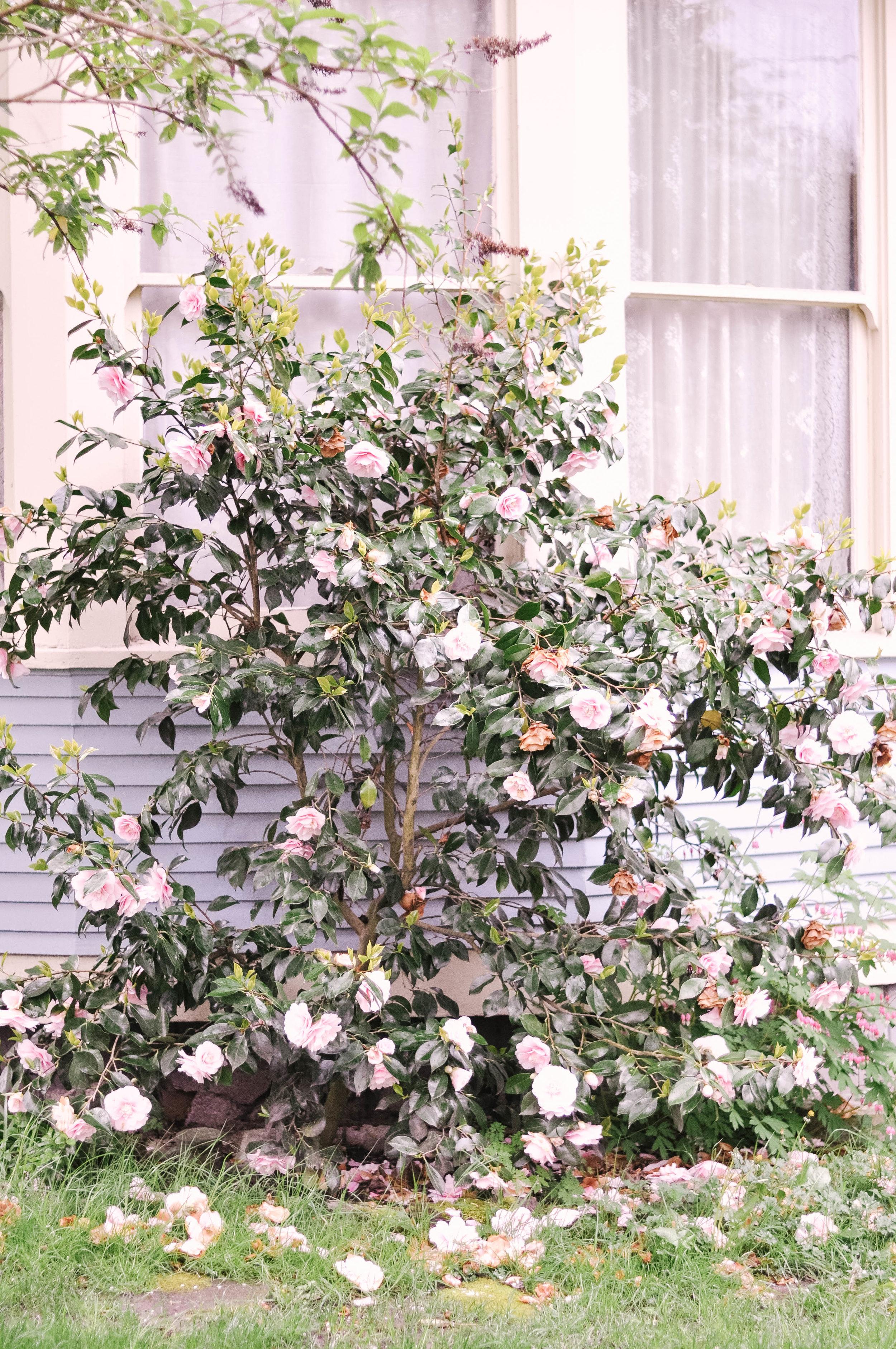 Washington travel flowering tree