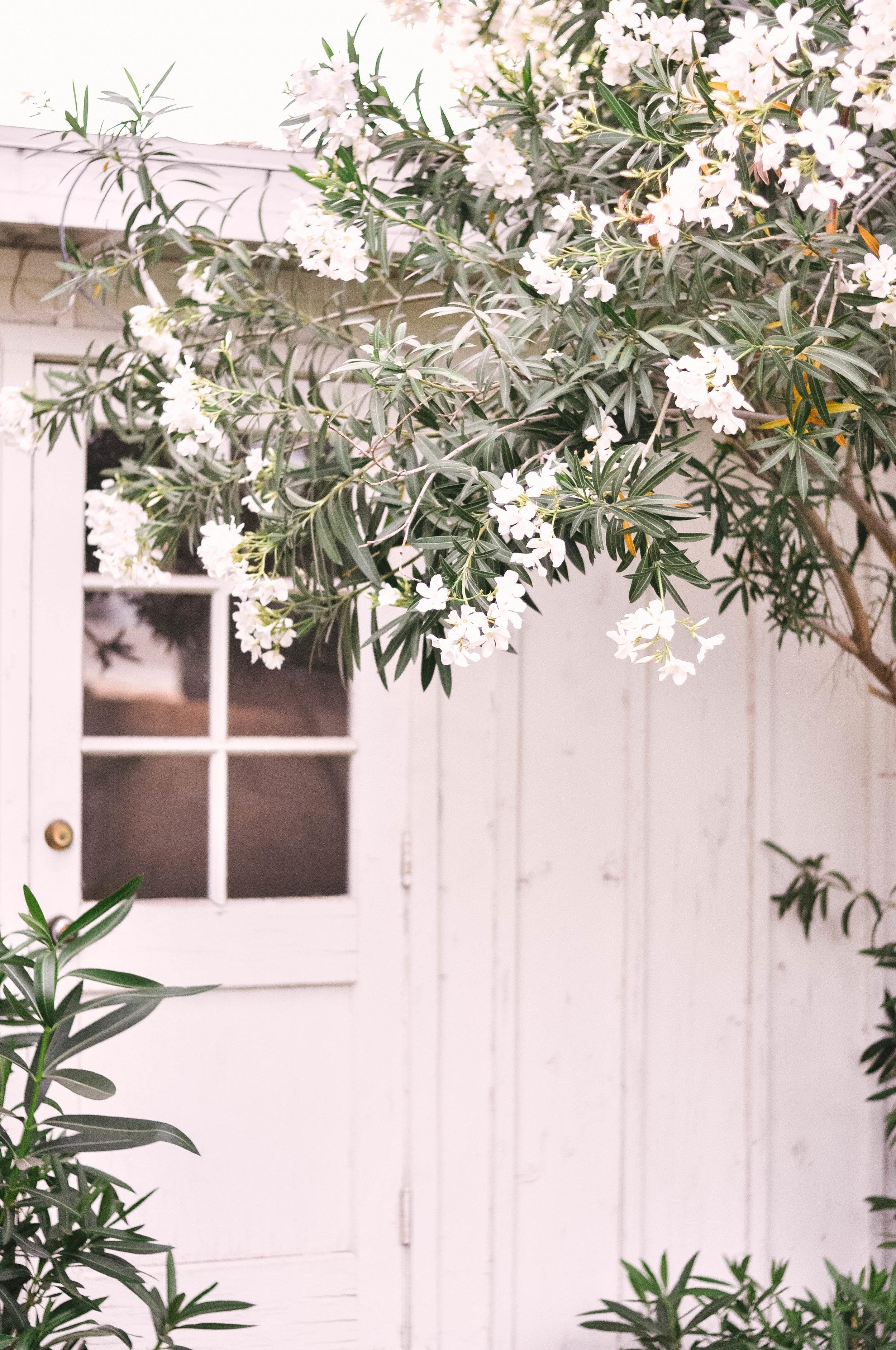 white-oleanders-4.jpg