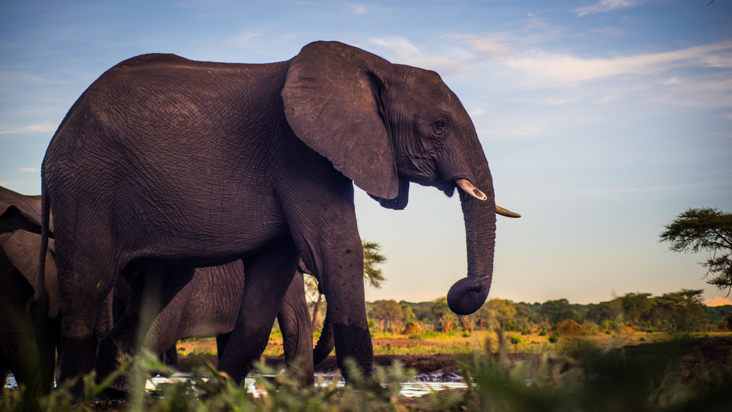 Elephants at the Watering Hole in Botswana.