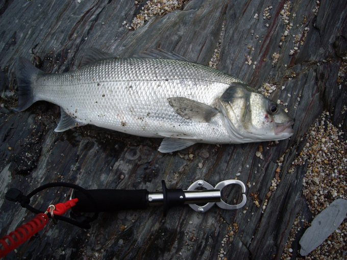 The result you want from a bass fishing session - they're beautiful aren't they!