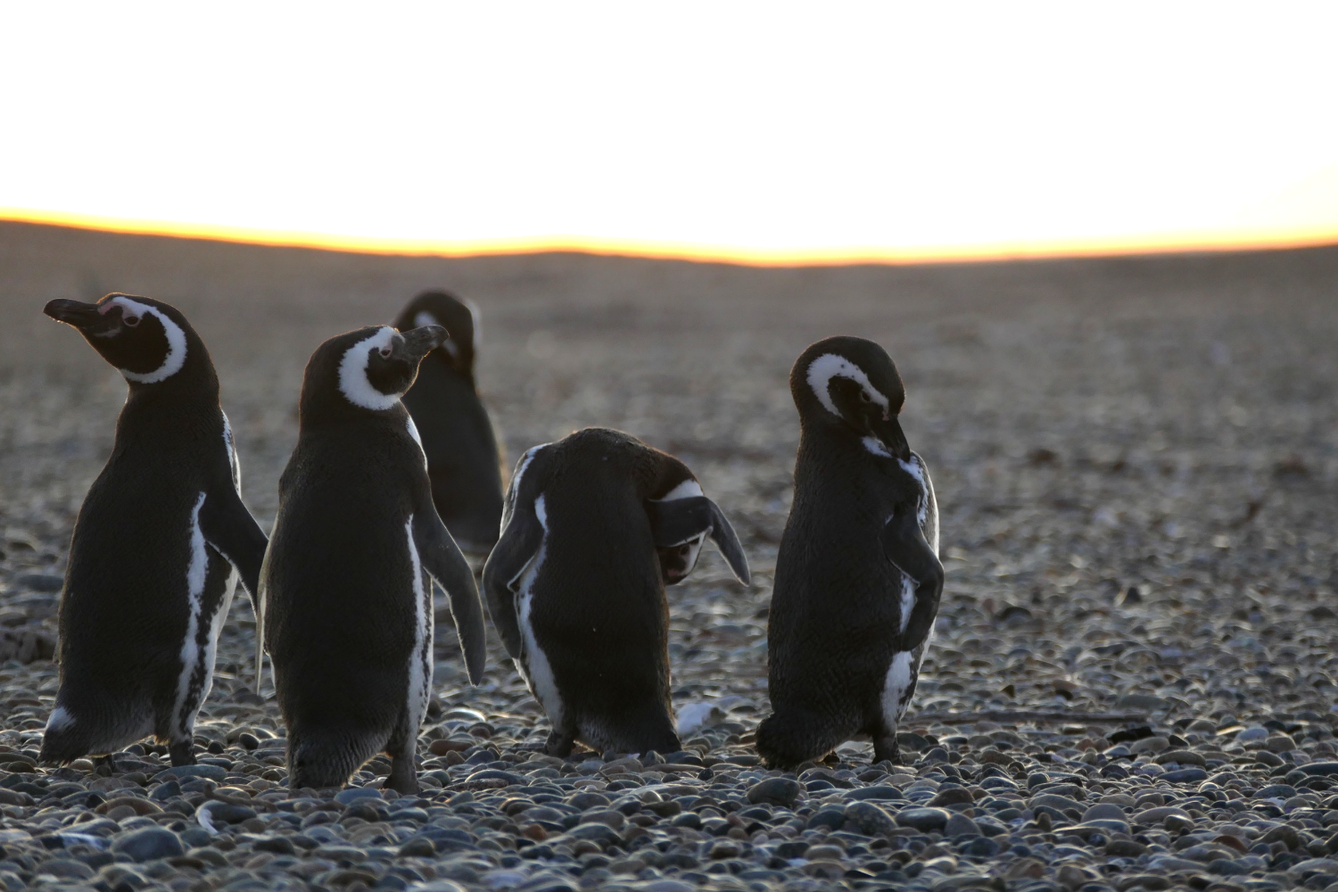 Magellanic Penguins outside Puerto Madryn, Argentina.  © Carolyn McCarthy