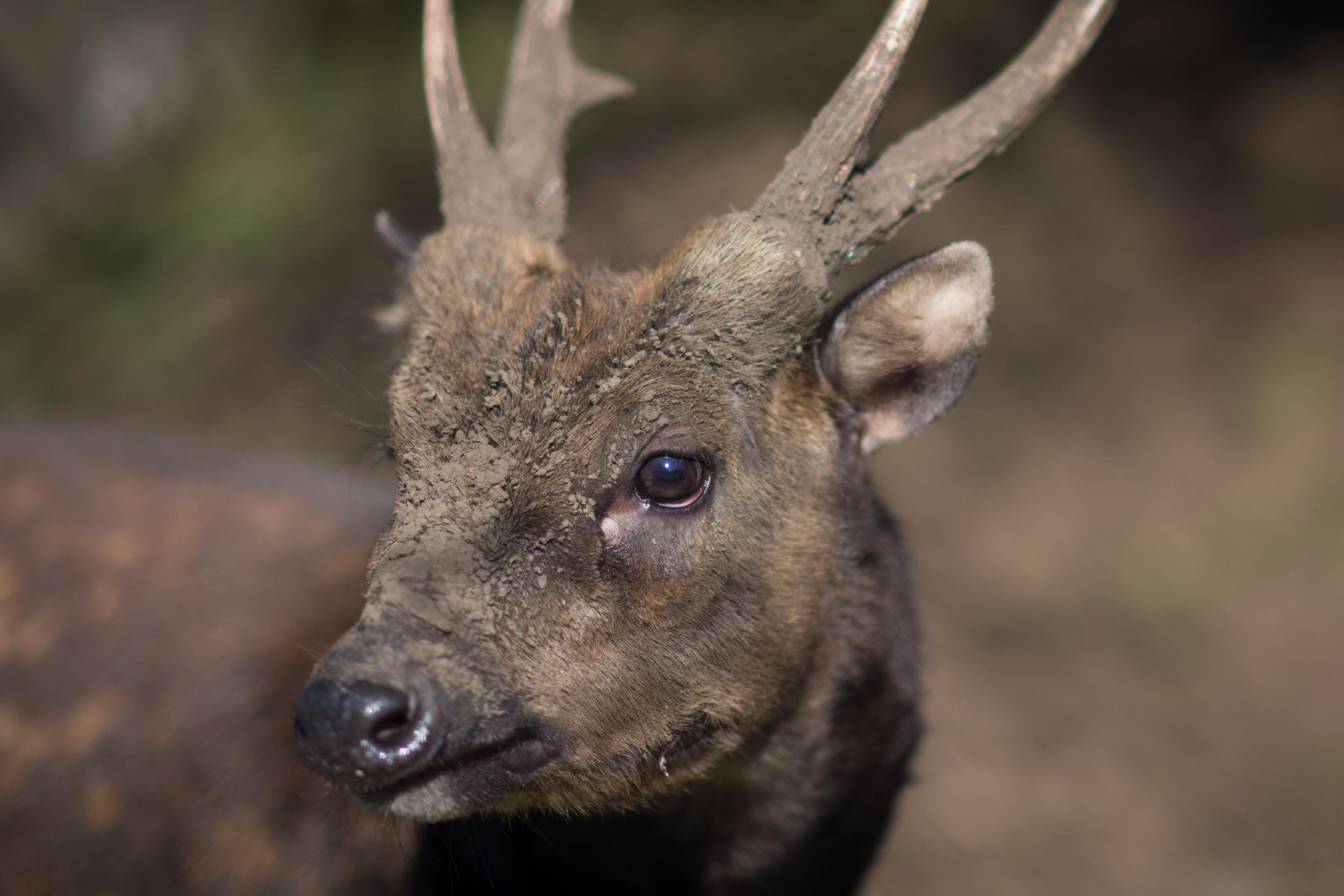 Visayan Spotted Deer Edinburgh Zoo - Sat 21 February 2015 -2141.jpg