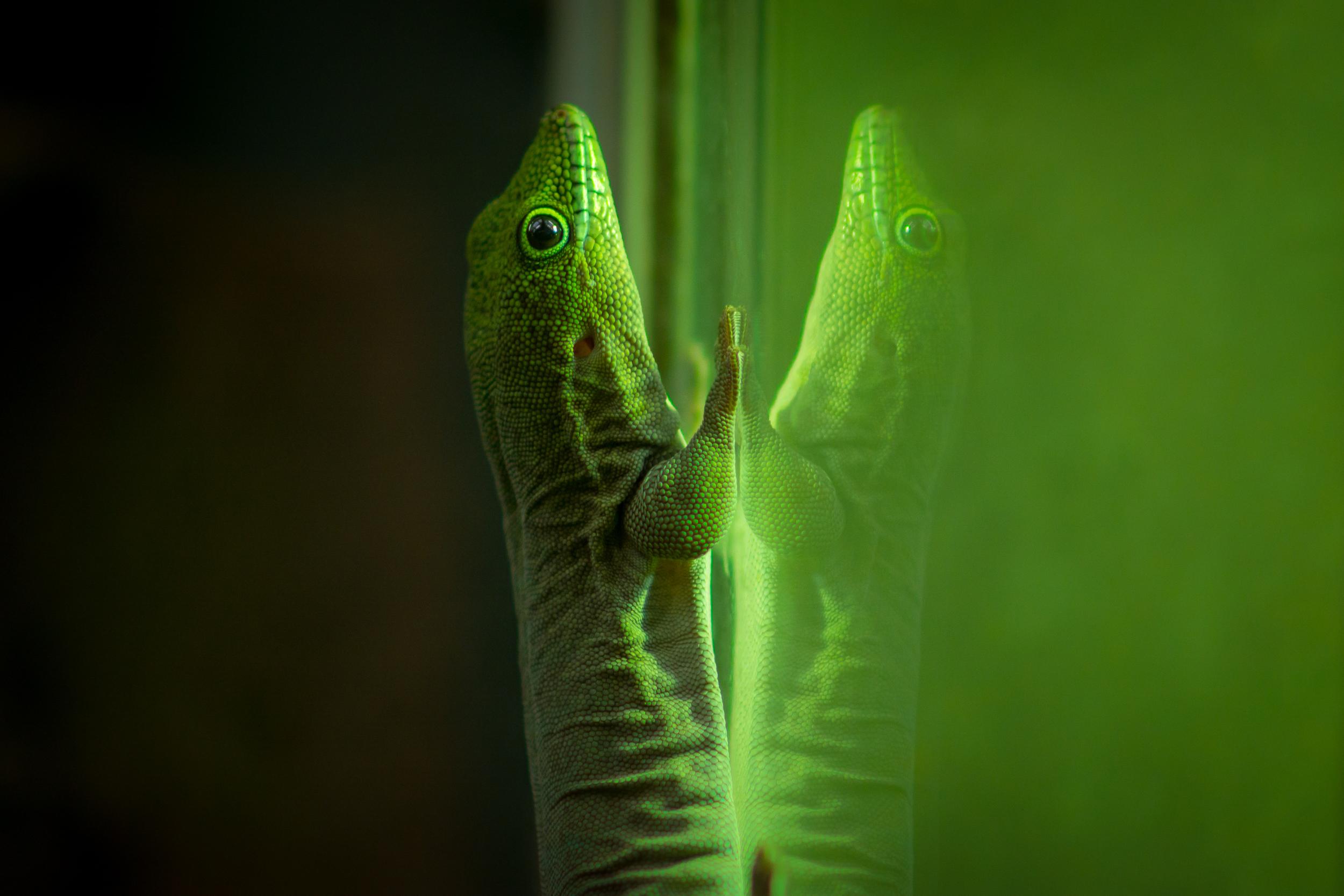 Mirror Lizard - Bristol Zoo - Sat 27 December 2014 -7184.jpg