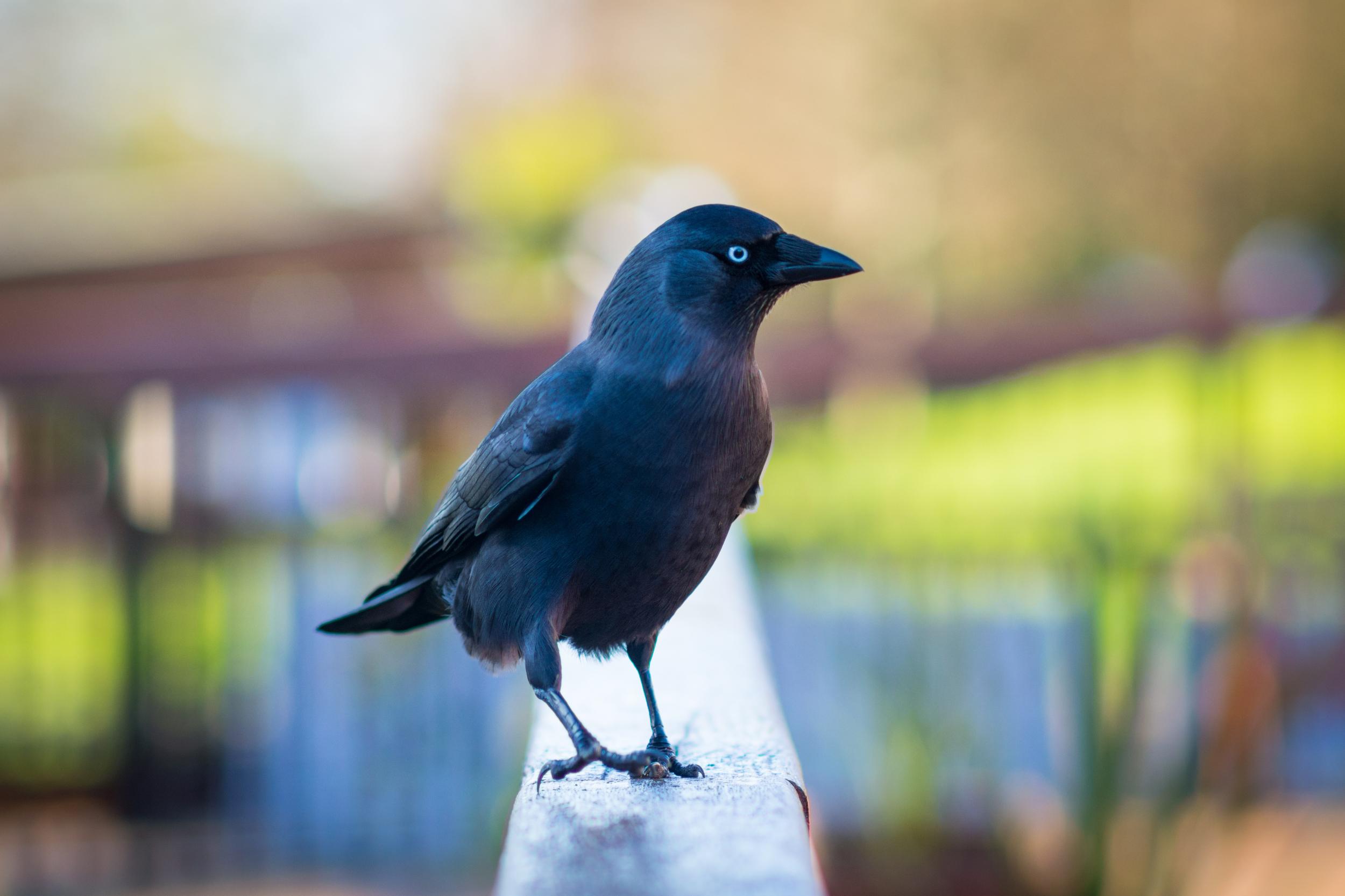 Crow - Edinburgh Zoo - Sun 23 November 2014 -5492.jpg