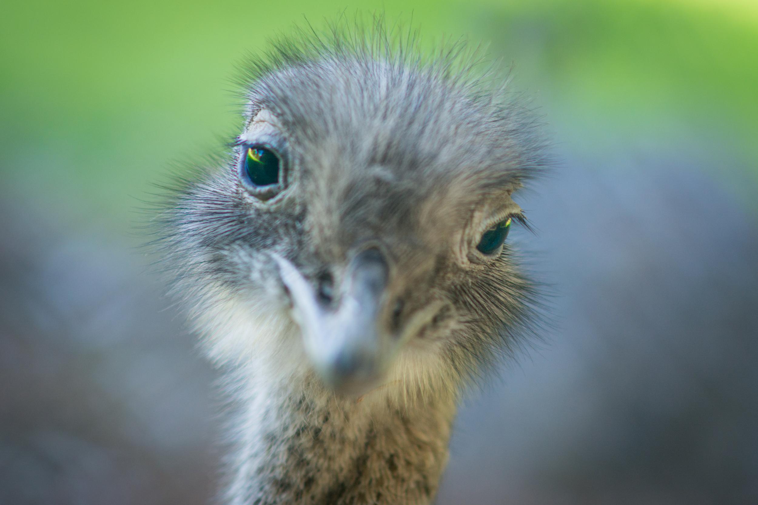 Darwin's Rhea - Edinburgh Zoo - Mon 1 September 2014 -1060.jpg