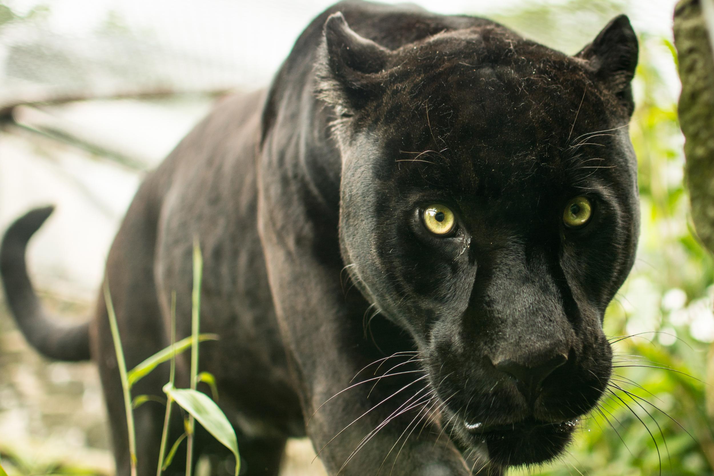 Jaguar - Edinburgh Zoo - Sun 8 June 2014 -6556.jpg