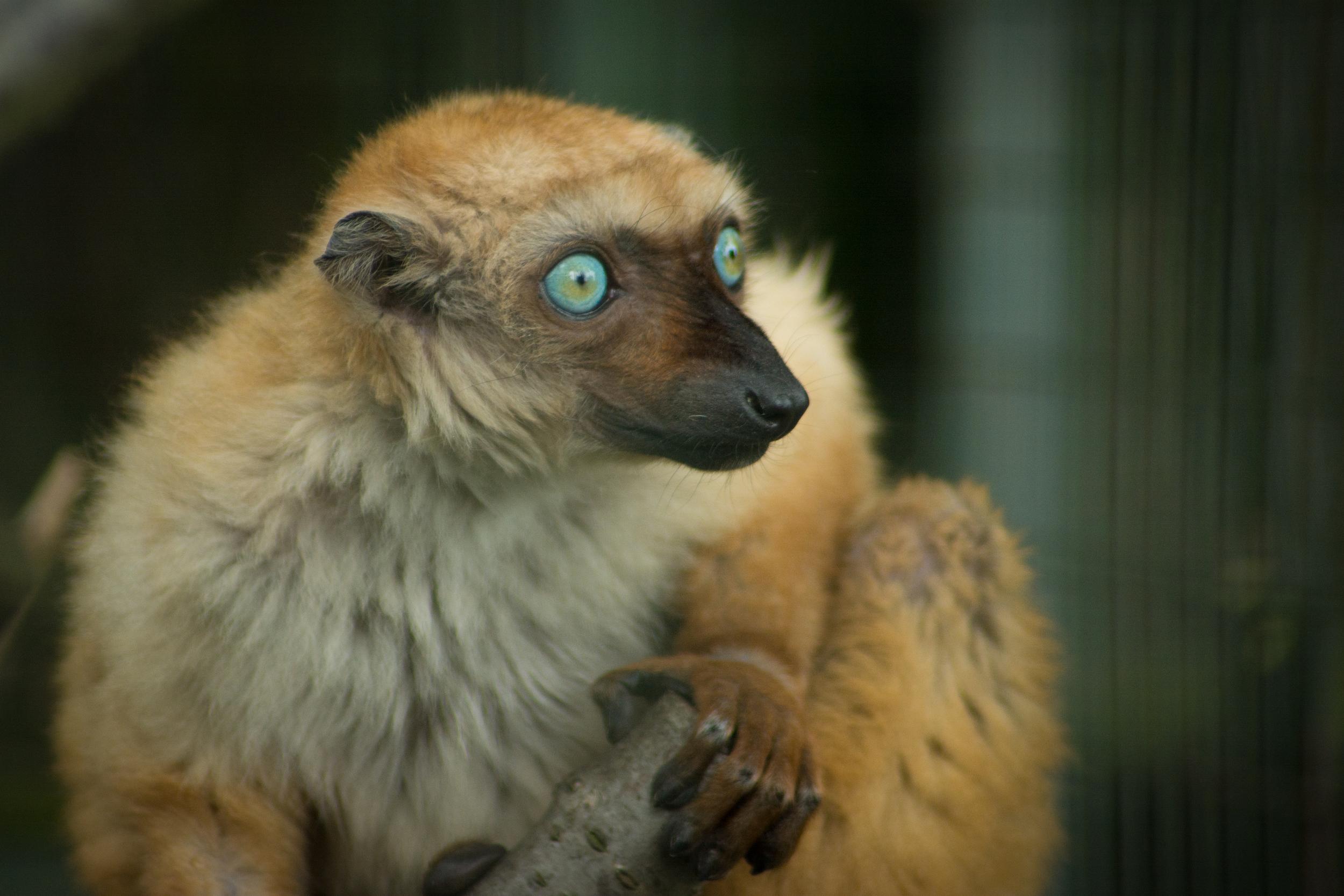 Blue-eyed black lemur - Edinburgh Zoo - Sun 18 May 2014 -4946.jpg
