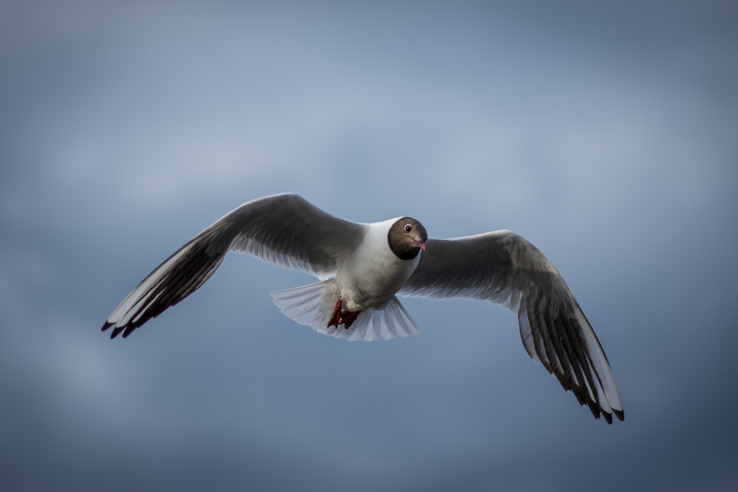 Black Headed Gull - Cramond - Tue 1 July 2014 -8176.jpg