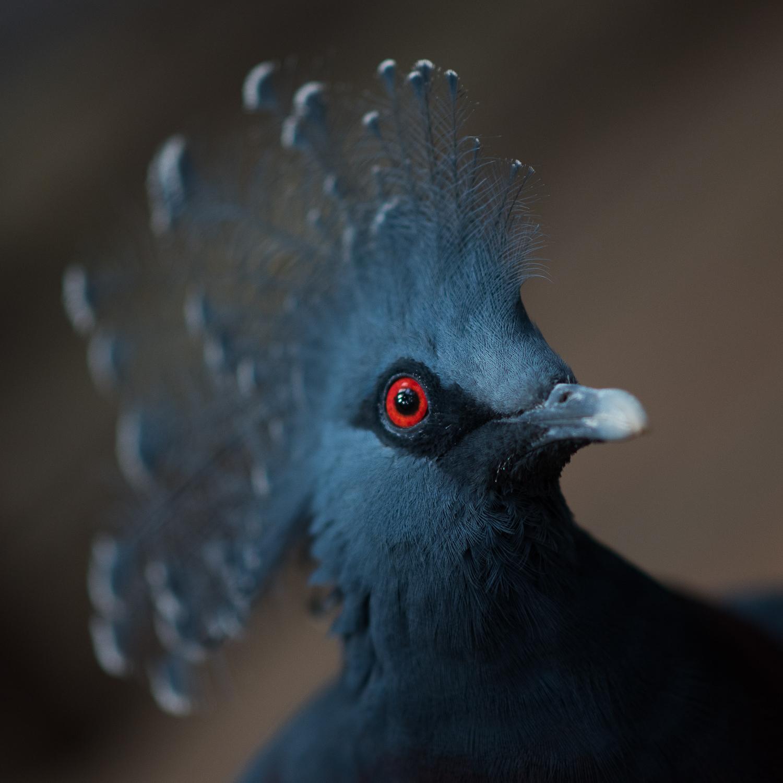 Victoria Crowned Pigeon - Edinburgh Zoo - Sun 19 July 2015 -5581.jpg