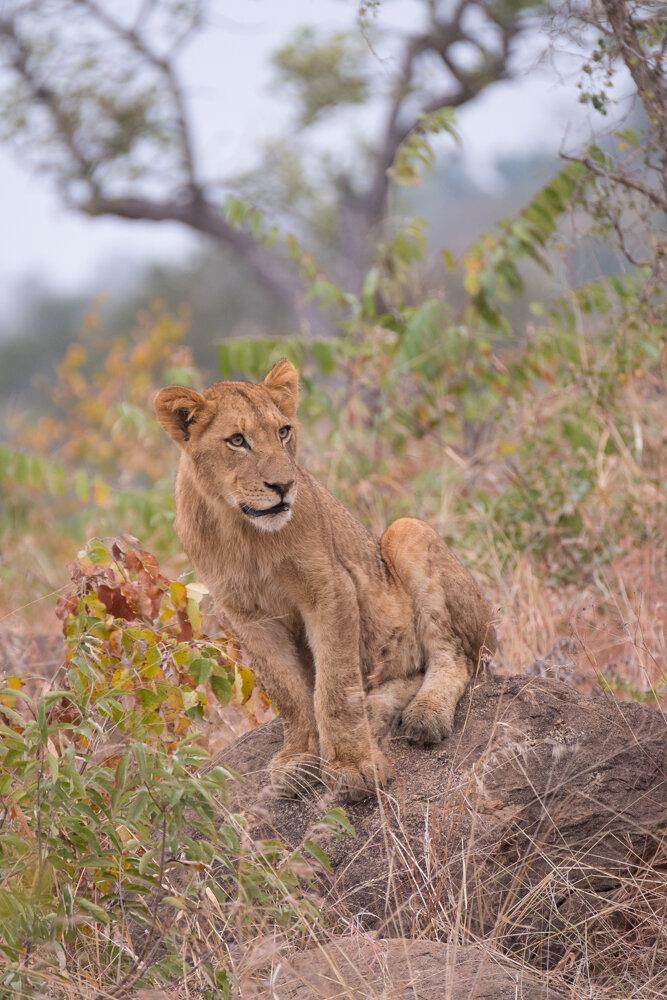 Pride of Lions (Lion Cub)
