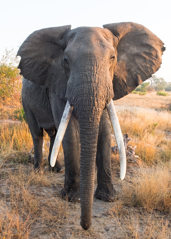 Elephant Head-On