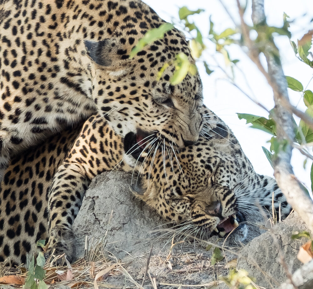 Leopard's Mating