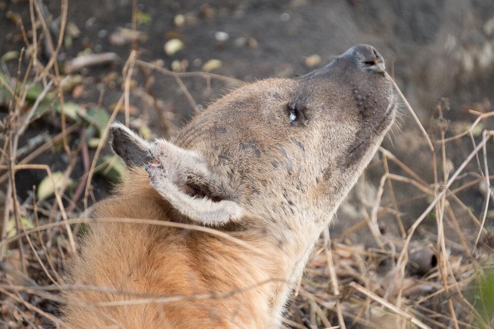 Hyenas (Looking Up)
