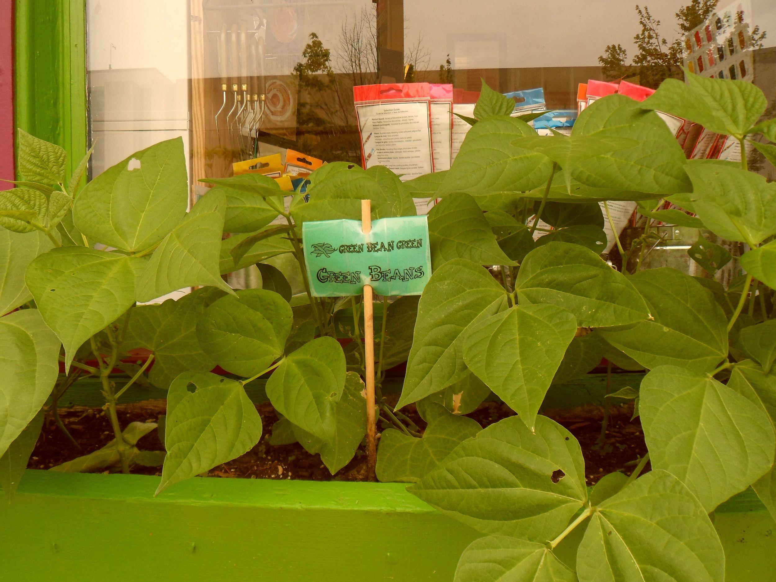 green bean 9.jpg