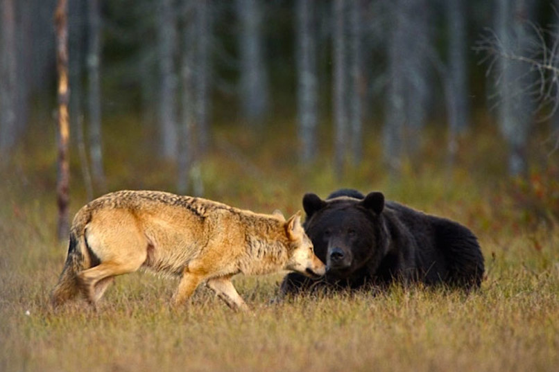 wolf-and-bear2.jpg