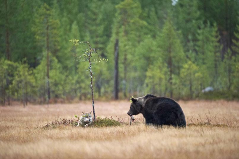 wolf-and-bear4.jpg