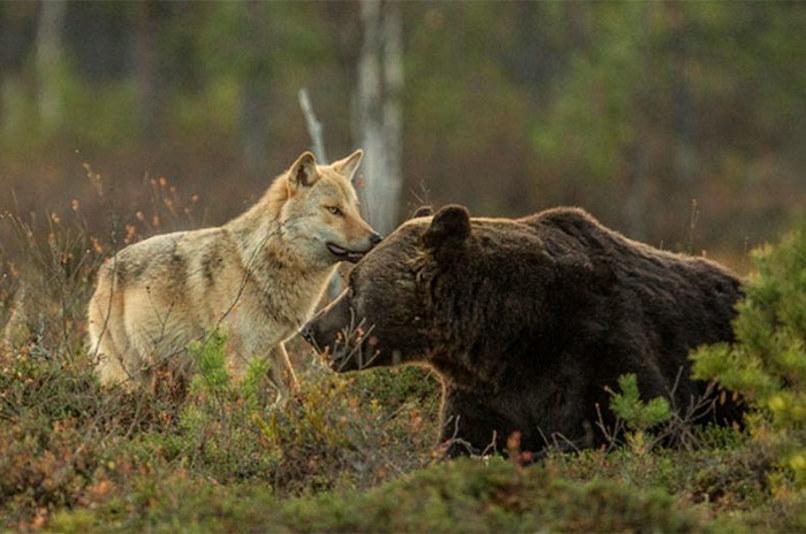 wolf-and-bear5.jpg