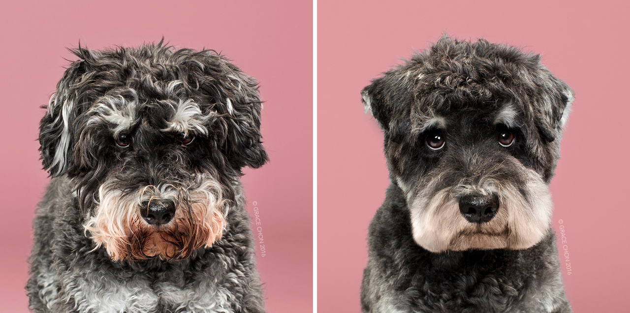 Raider_grace_chon_HAIRY_before_after_japanese_grooming_01.jpg