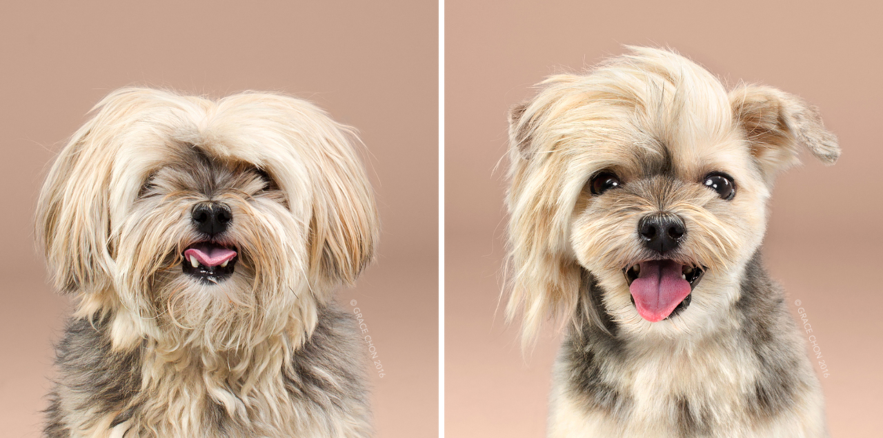Rocco_grace_chon_HAIRY_before_after_japanese_grooming_01.jpg