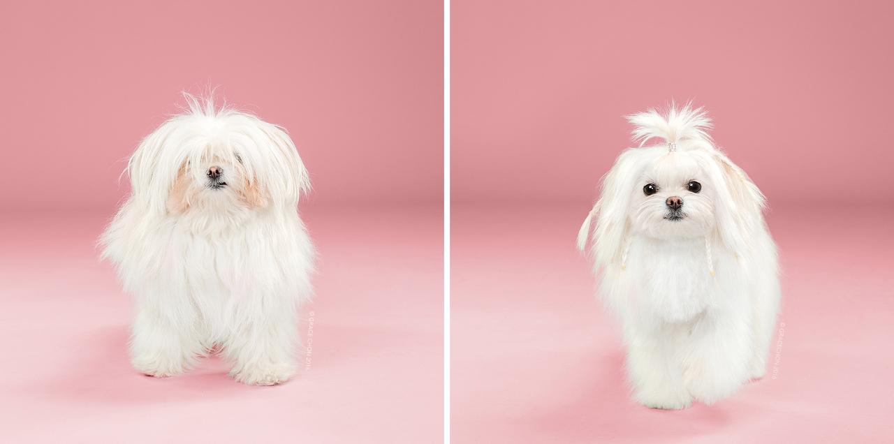 Yuki_grace_chon_HAIRY_before_after_japanese_grooming_01.jpg