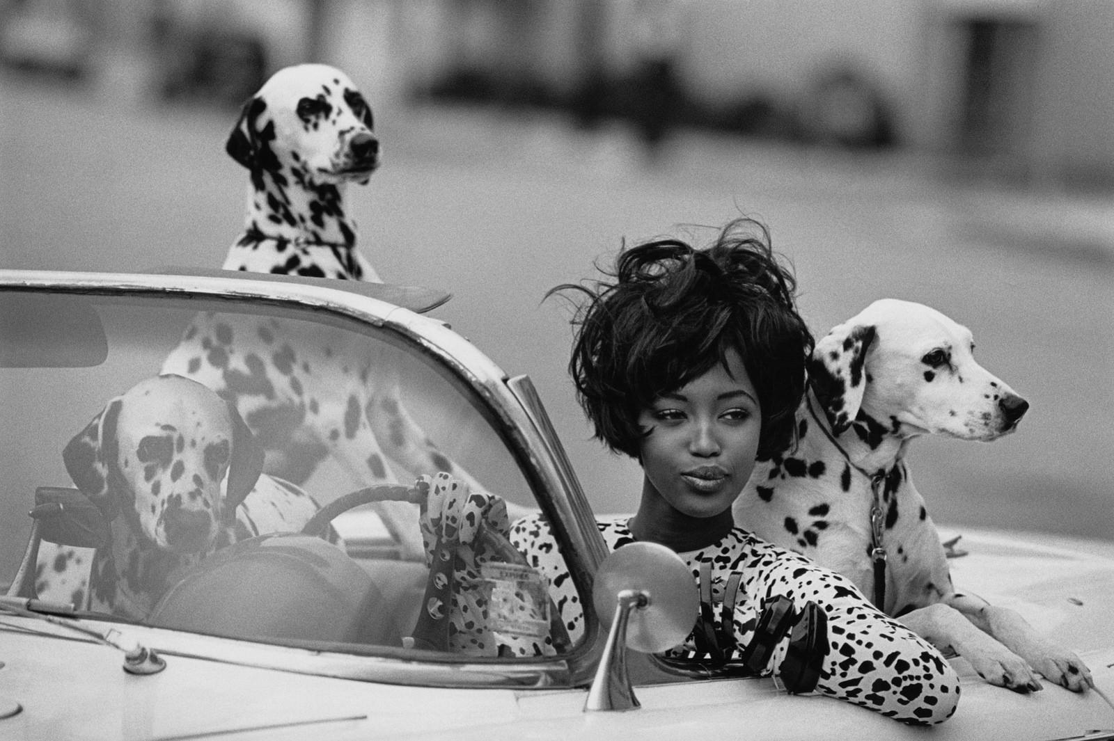 dog dalmatians in car
