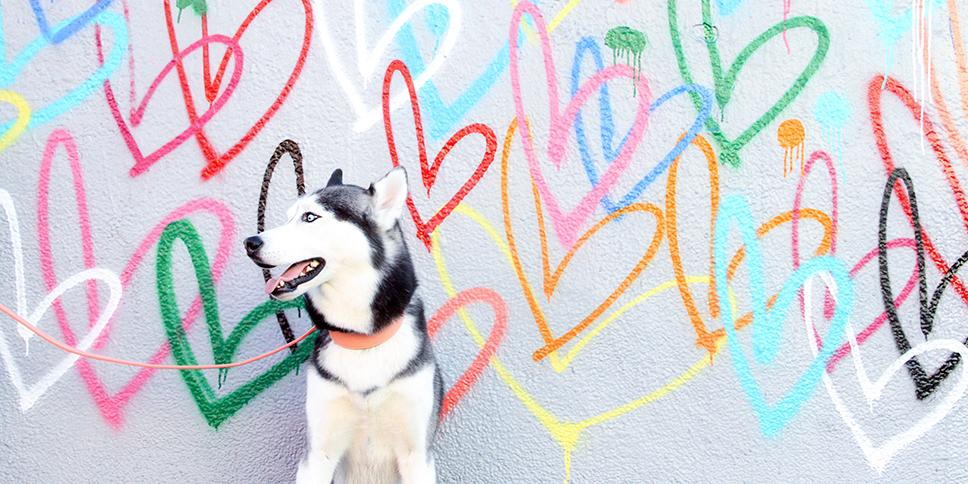 husky dog collar pink