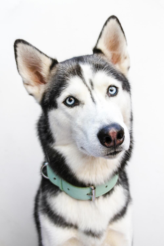 blue leather dog collar