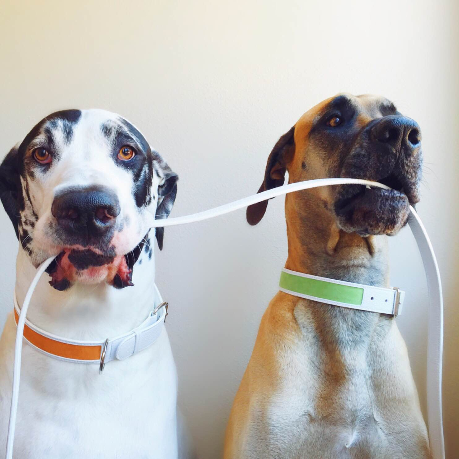 dogs with collar