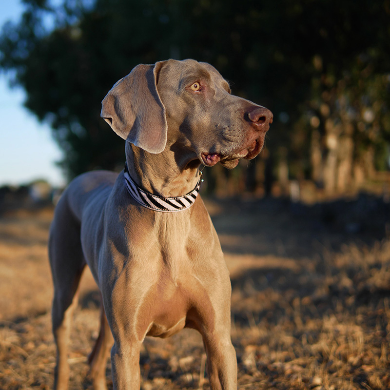 Dog collar Zebra