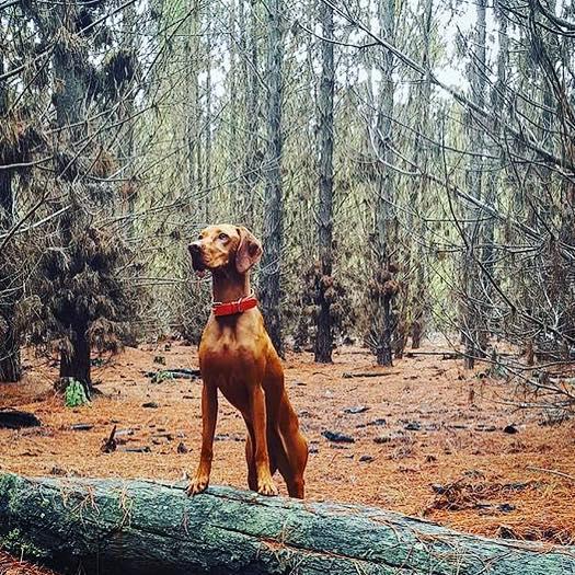 King of the dogs #fall #dogking #laikahunt #dogcollar #browndog #vizsla @nickcooney_