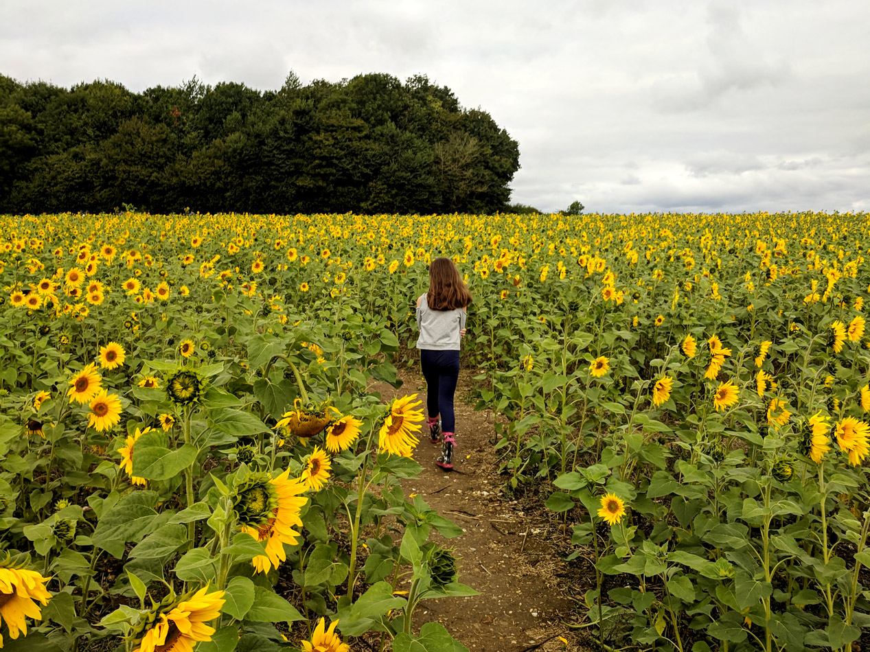 Photography-hemel-hempstead-sunflower2.jpg