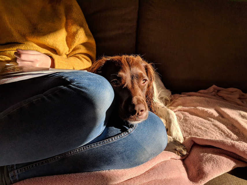 dog sitting on the sofa in the sun, laying on her owners legs