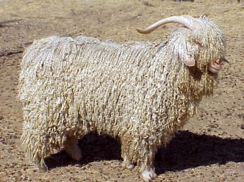 goat2_zduvnf.jpg