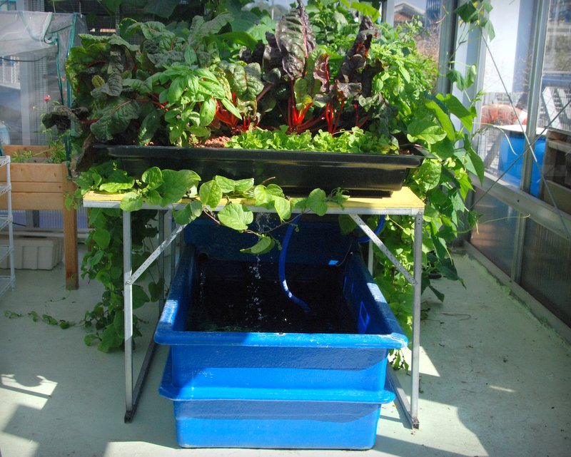 This aquaponic system unites koi fish, plants, water pumps, and added nutrients into a self contained system.
