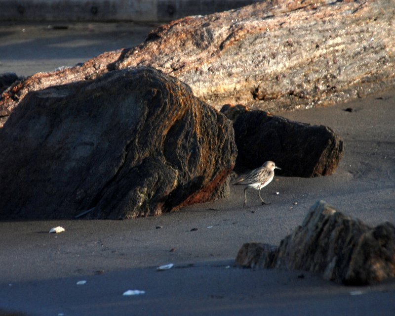 A sanderling on the beach