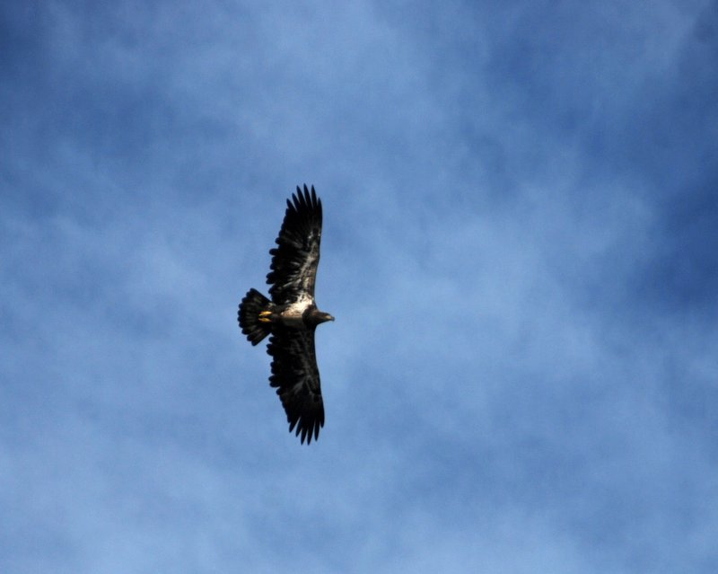 I think this is a juvenile bald eagle, due to the whitish feathers under the wings.