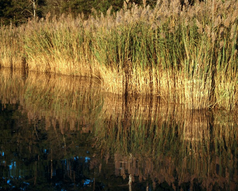 We see phragmites reeds every day, and despite their invasive status they can be quite beautiful.