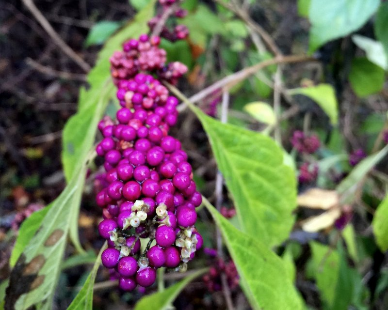 These fuchsia berries grew along the Dismal Swamp.