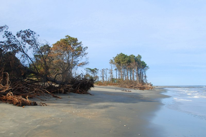 Downed pines litter the beach on Cape Island, likely weakened by rising salt water and recent large storms.