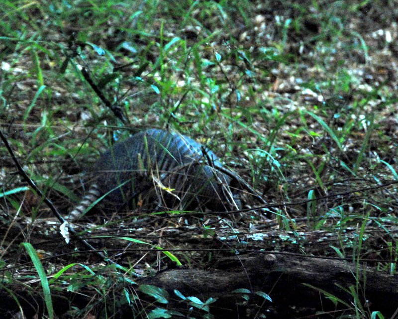 Our first armadillo!