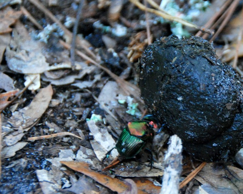I know this is a little gross, but check out that beast of a dung beetle!