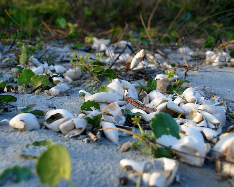 I stumbled upon a recently emptied loggerhead turtle nest.